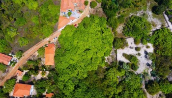Cajueiro-rei, no município de Cajueiro da Praia, o maior cajueiro do mundo
