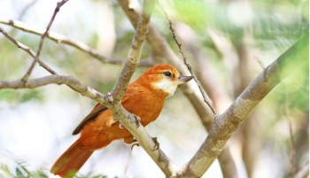 Conheça birdwatching, turismo de observação de pássaros praticado no Piauí